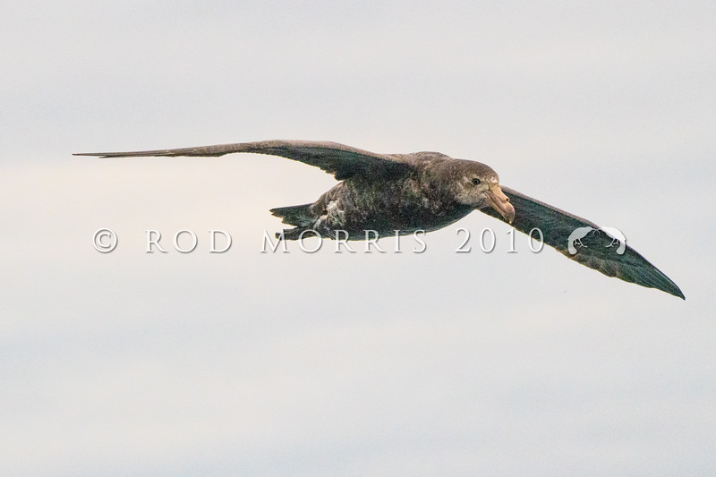 DSC_3656 Northern Giant petrel (Macronectes halli) adult flying at sea near South East Island. Chathams Group *