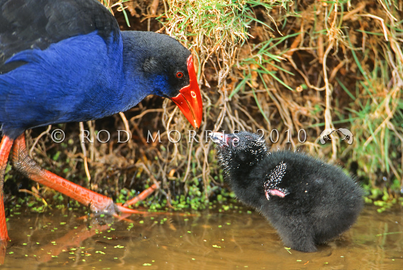 11001-51102  Pukeko (Porphyrio melanotus melanotus) adult feeding downy chick. Western Springs, Auckland *