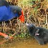11001-51102  Pukeko (Porphyrio melanotus melanotus) adult feeding downy chick
