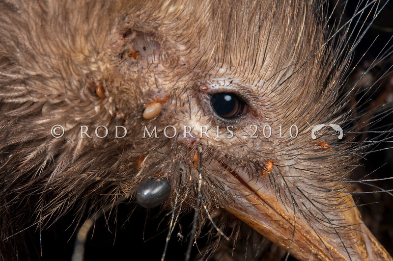DSC_6355 North Island brown kiwi (Apteryx mantelli) close up of head showing both kiwi ticks (Ixodes anatis) and cattle ticks (Haemaphysalis longicornis). Ponui Island.