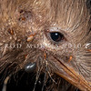 DSC_6355 North Island brown kiwi (Apteryx mantelli) close up of head showing both kiwi ticks (Ixodes anatis) and cattle ticks (Haemaphysalis longicornis). Ponui Island *