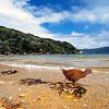 11001-49711 Stewart Island weka (Gallirallus australis scotti) foraging along shore line. Paterson Inlet, Stewart Island *