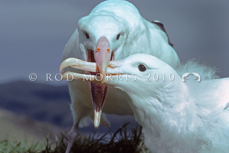 11001-08114 Northern Royal albatross (Diomedea sanfordi) adult feeding large chick. Taiaroa Head, Otago Peninsula *