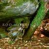 11001-71905 Kea or mountain parrot (Nestor notabilis) adult feeding nestling outside burrow. Tutoko High Bench, Fiordland *