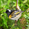DSC_2617 Stitchbird or hihi (Notiomystis cincta) confined to North Island. Male with head feathers raised in display. Little Barrier Island *