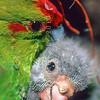 11001-73618 Red-crowned parakeet (Cyanoramphus novaezelandiae novaezelandiae) female preening downy chick in nest