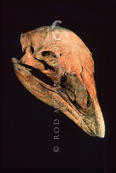 11001-00104 Little bush moa (Anomalopteryx didiformis) skull of a large wingless ground bird now extinct but formerly widespread in closed canopy forests. [#S35274] from Takaka Hill