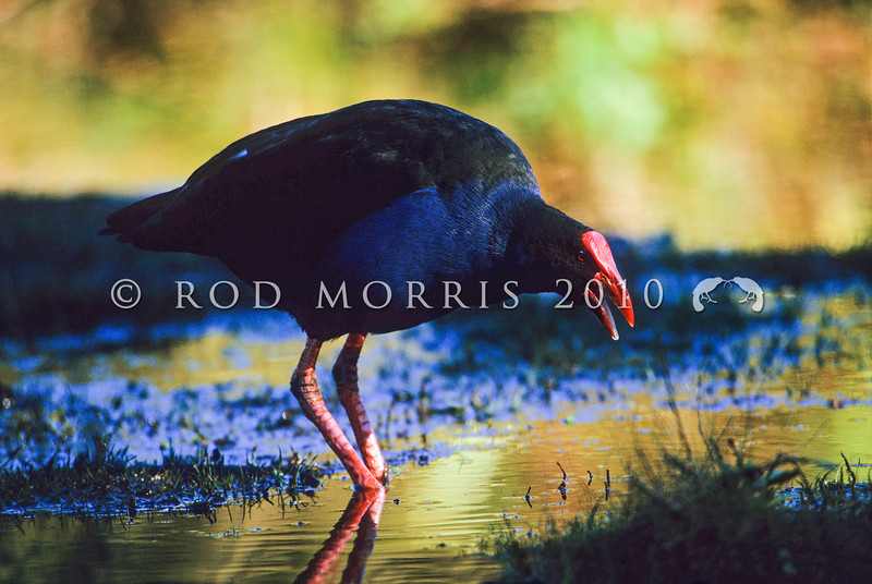 11001-50804  Pukeko (Porphyrio melanotus melanotus) adult calling in late evening light. Western Springs, Auckland *