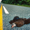 11001-48919 Western weka (Gallirallus australis australis) dead adult killed by vehicle while crossing the main road at Punakaiki in Westland *