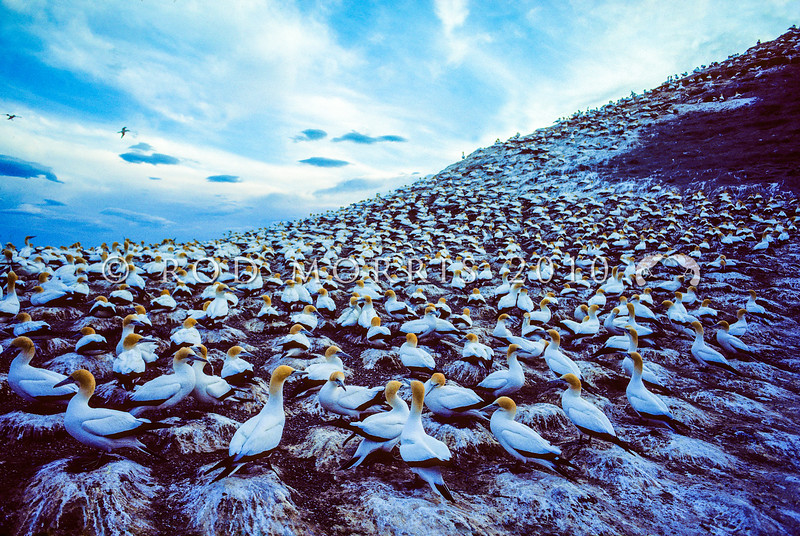 11001-31913 Australasian gannets (Morus serrator) breeding colony at dusk. Cape Kidnappers, Hawkes Bay *