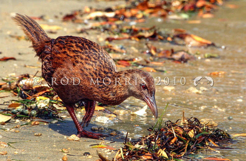 11001-49713 Stewart Island weka (Gallirallus australis scotti) foraging along shore line. Paterson Inlet, Stewart Island *