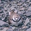 11001-56321  Wrybill (Anarhynchus frontalis) male settling on eggs. Cass River, Tekapo *
