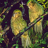 11001-70510  Kakapo (Strigops habroptilus) two young birds 'Ellie' and 'Hauturu' approximately four months old, perched in a rata tree on a damp night on Codfish Island. August 1999 *
