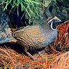 11001-46601 California quail (Callipepla californica californica) male in pine forest *