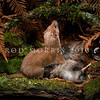 DSC_9564 Weasel (Mustela nivalis vulgaris) male with brown kiwi chick. Introduced in 1885-86, weasels although now rare in most districts, have wreaked havoc on our native flightless birds *