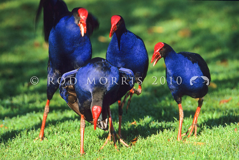 11001-51013  Pukeko (Porphyrio melanotus melanotus) social group standing around a solicitting female. Western Springs, Auckland *