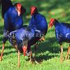 11001-51013  Pukeko (Porphyrio melanotus melanotus) social group standing around a solicitting female