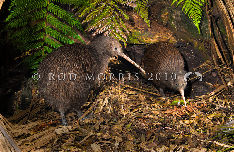 DSC_6418 Eastern brown kiwi (Apteryx mantelli) pair outside nest burrow entrance, with male just emerging from nest.