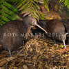 DSC_6418 Eastern brown kiwi (Apteryx mantelli) pair outside nest burrow entrance, with male just emerging from nest *