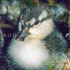 11001-42003  Blue duck (Hymenoliamus malacorhynchos)  a  duckling less than a day old in nest