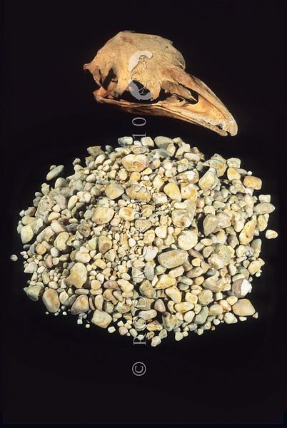 11001- 01107 North Island giant moa (Dinornis novaezealandiae) skull and crop stones from Te Papa museum.