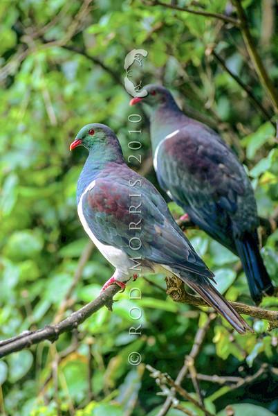 11001-69405 Kereru or New Zealand pigeon (Hemiphaga novaeseelandiae) pair resting at bush edge. Little Barrier Island
