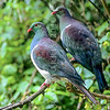 11001-69405 Kereru or New Zealand pigeon (Hemiphaga novaeseelandiae) pair resting at bush edge. Little Barrier Island *