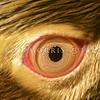 11001-25123 Yellow-eyed penguin (Megadyptes antipodes) close up of distinctive yellow eye