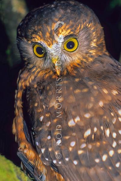 11001-75920 Morepork (Ninox novaeseelandiae novaeseelandiae) watching forest floor. Rangataua Forest *