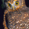 11001-75920 Morepork (Ninox novaeseelandiae novaeseelandiae) watching forest floor
