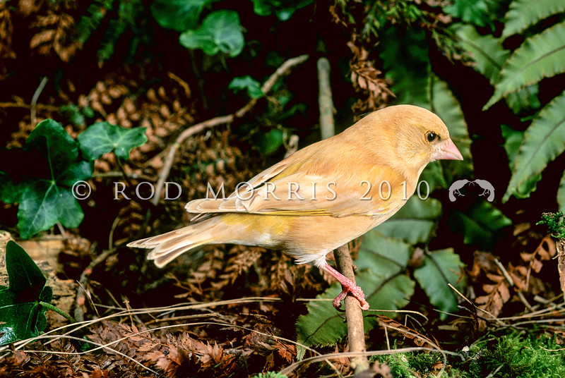 11001-85504  European greenfinch (Carduelis chloris) One of the commonest birds in the New Zealand countryside. This is a leucistic female exploring a hedgerow. Oamaru.