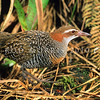 11001-47706 Banded rail (Gallirallus philippensis assimilis) male in wetland