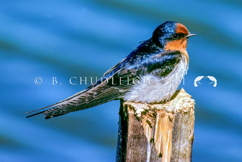 11001-78410 Welcome swallow (Hirundo neoxena neoxena) adult resting. Now known throughout New Zealand, breeding in porches and under bridges, the welcome swallow was known here only as a vagrant before the 1950's *
