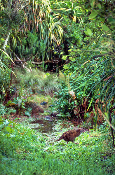 11001-48917 Western weka (Gallirallus australis australis) adult crossing a forest clearing on the Open Bay Islands, Haast *