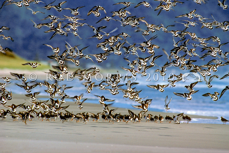 11001-56908 Ruddy turnstones (Arenaria interpres) adult flock in breeding plumage landing on Bowentown beach