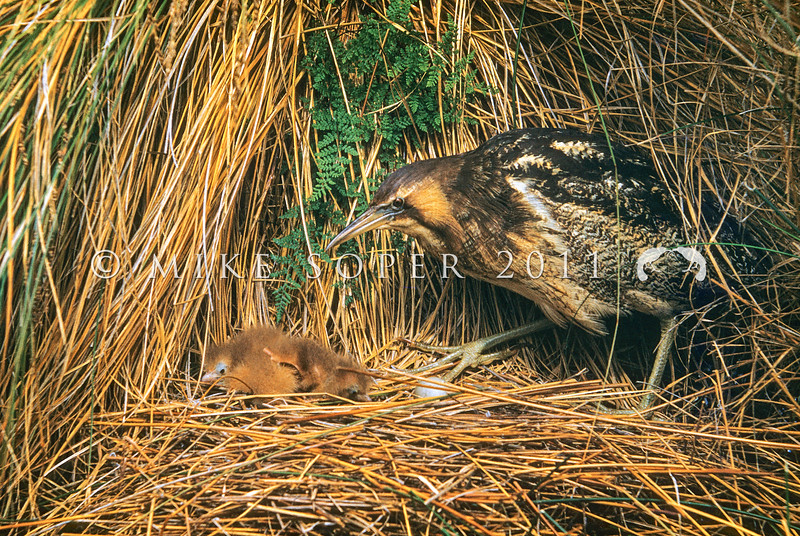 11001-39001  Australasian bittern (Botaurus poiciloptilus) fossil evidence suggests the bittern arrived in NZ around the same time as the Polynesian colonists. This portrait of a female bittern and her chicks in the nest, was taken in a swamp near Arrowtown in December 1957 by the renowned bird photographer M F Soper. It is still the best photograph around of this secretive and elusive bird *
