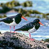 11001-53105 Chatham Island oystercatcher (Haematopus chathamensis) adult pair on rocks, South East Island. Population is only around 300 birds *