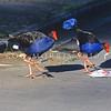 11001-50705  Pukeko (Porphyrio melanotus melanotus) pair crossing road. Western Springs, Auckland *