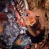 11002-21108  South Island kaka (Nestor meridionalis meridionalis) female killed on nest in tree hollow by a stoat (Mustela erminea) *
