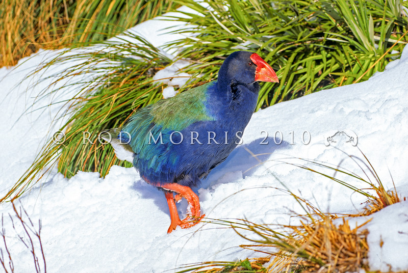 11001-52002  Takahe (Porphyrio hochstetteri) a rare flightless giant rail. Adult in snow in the Mackenzie Burn head basin in early spring. Murchison Mountains, Fiordland *