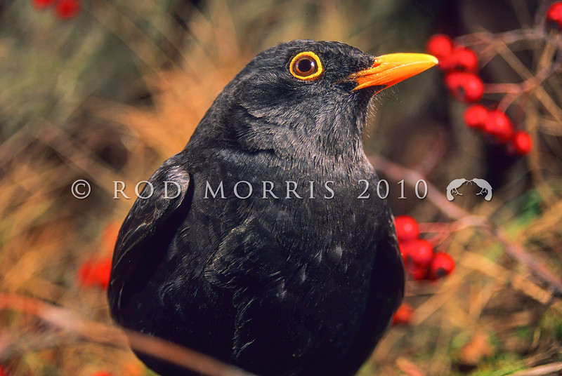 11001-79502  Eurasian blackbird (Turdus merula merula) adult male in summer. This introduced species is the most widely distributed bird in New Zealand, ranging from the coastline to at least 1500m a.s.l., and extending to many of our outlying sub-Antarctic islands *