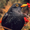 11001-79502  Eurasian blackbird (Turdus merula merula) adult male in summer. This introduced species is the most widely distributed bird in New Zealand, ranging from the coastline to at least 1500m a.s.l., and extending to many of our outlying sub-Antarctic islands.