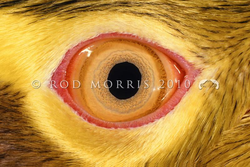 11001-25124 Yellow-eyed penguin (Megadyptes antipodes) close up of distinctive yellow eye. Otago Peninsula *