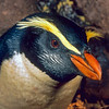 11001-29520 Fiordland crested penguin (Eudyptes pachyrhynchus) face showing characteristic white cheek stripes *