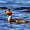 11001-06211 Australasian crested grebe (Podiceps cristatus australis) adult swimming on Lake Alexandrina *