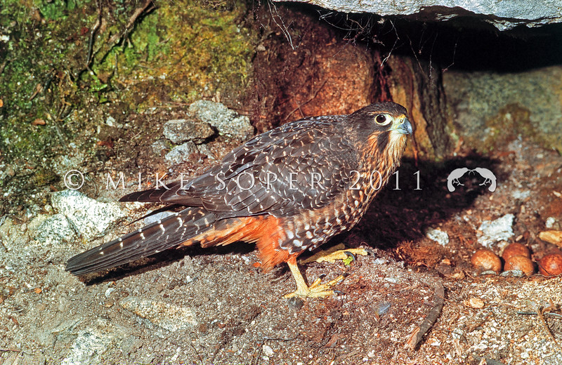 11001-45902 New Zealand falcon (Falco novaeseelandiae) adult female 'Eastern' falcon at nest with eggs. Skippers Creek, Richardson Mountains *