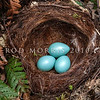 DSC_5461 Dunnock or Hedge sparrow (Prunella modularis) nest with eggs in tree fern. This inconspicuous little introduced bird is common in gardens in the South Island, but in the North Island, it is rare north of the Waikato. Otago Peninsula *