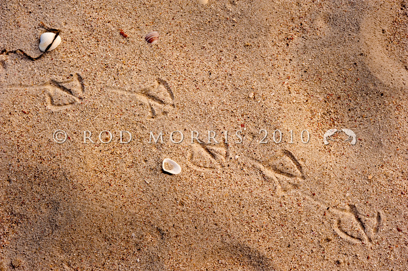 DSC_4201 Red-billed gull (Chroicocephalus novaehollandiae scopulinus) footprints on a sandy beach. Rangiputa Beach, Karikari Peninsula *