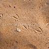 DSC_4201 Red-billed gull (Larus novaehollandiae) footprints on a sandy beach. Rangiputa Beach, Karikari Peninsula