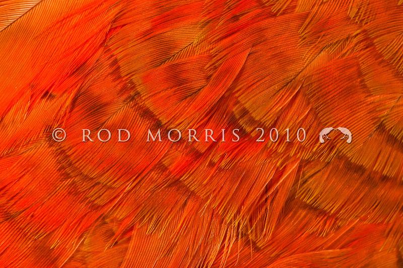DSC_1165  South Island kaka (Nestor meridionalis meridionalis) detail of plumage of kaka kura - a red colour morph